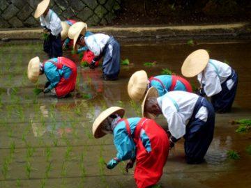 Festival de la siembra de arroz